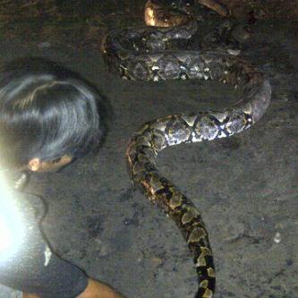 Update: Anaconda Besar Ditemukan Di Kalimantan